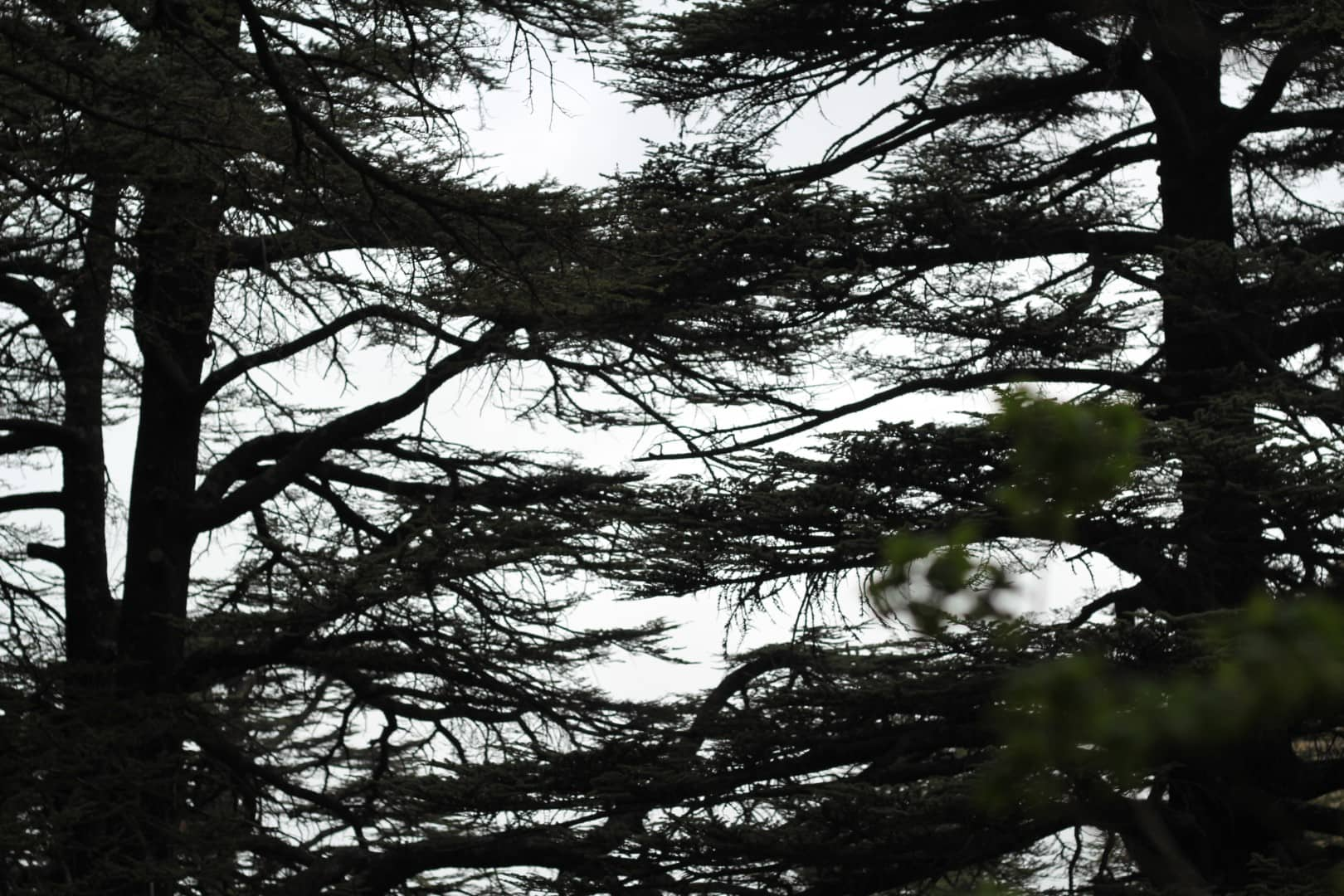 Trail-Side Stories – An identitary issue: the cedar of Lebanon